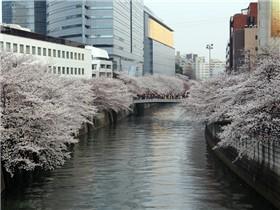 目黒川桜(目黒)