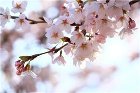 桜(写真)