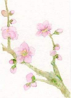 桜つぼみ-min