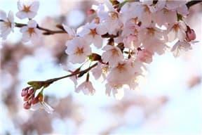 桜(写真)-min