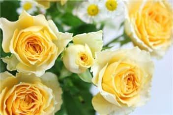 黄色のバラ-min