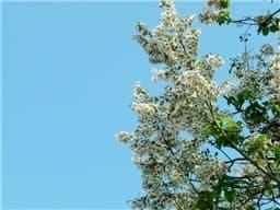 桐の花-min