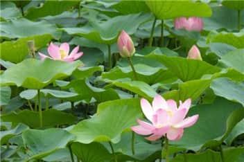 蓮の花⑥-min