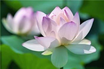 蓮の花⑦-min