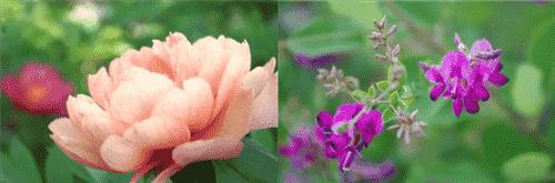 牡丹と萩-min
