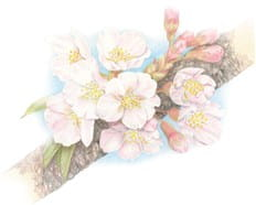 桜7-min