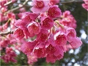 寒緋桜-min