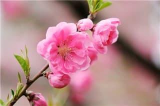 桃の花-min