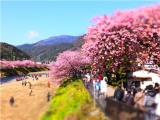 河津桜まつり-min
