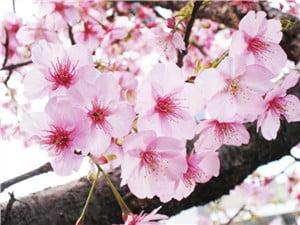 河津桜-min
