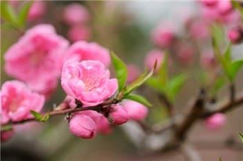桃の花③-min