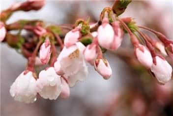 桜のつぼみ-min