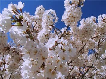 目黒川桜②-min