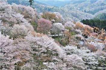 吉野山桜-min