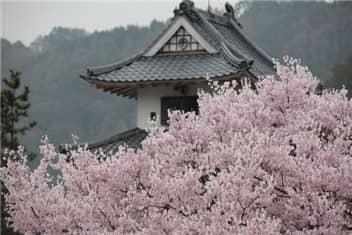 高遠城と桜-min