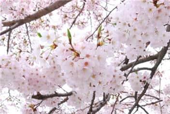 桜②-min
