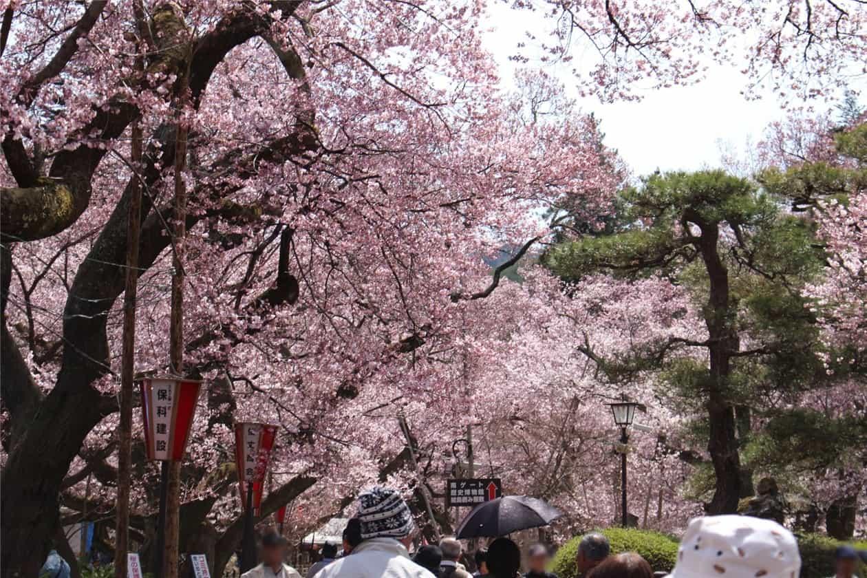 高遠城址公園(桜)-min