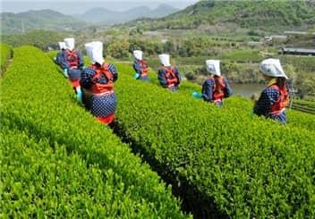 茶摘②-min