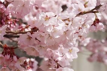 高遠城址公園桜-min