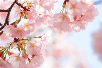 桜③-min