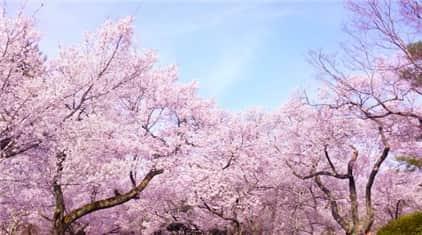 満開の桜-min
