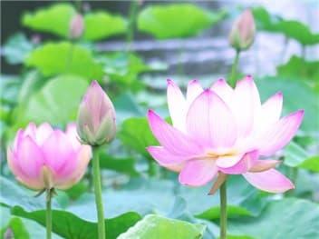 蓮の花⑤-min