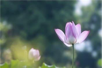 蓮の花-min