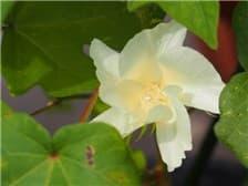 綿の花①-min