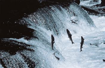 鮭の遡上-min