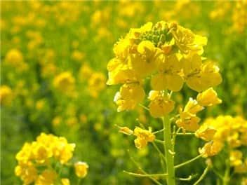 菜の花③-min