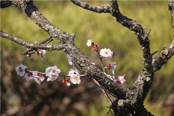 梅の花-min
