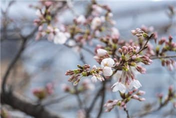 咲き始めの桜-min