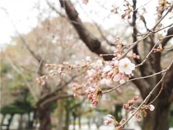 桜咲き始め-min