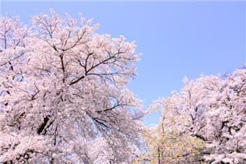 桜8-min