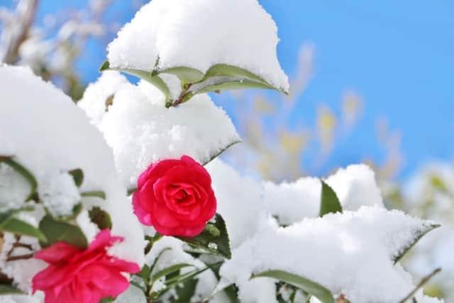 雪とさざんか-min