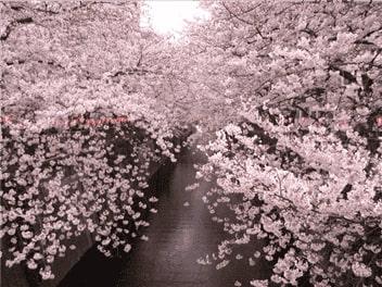 目黒川桜(中目~池尻)-min