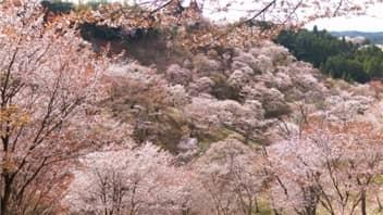 吉野桜-min