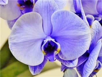 胡蝶蘭(紫)-min