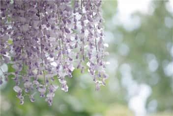 藤の花 -min