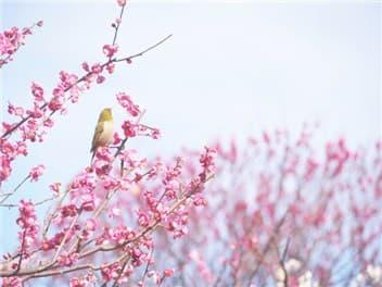 梅と鶯-min